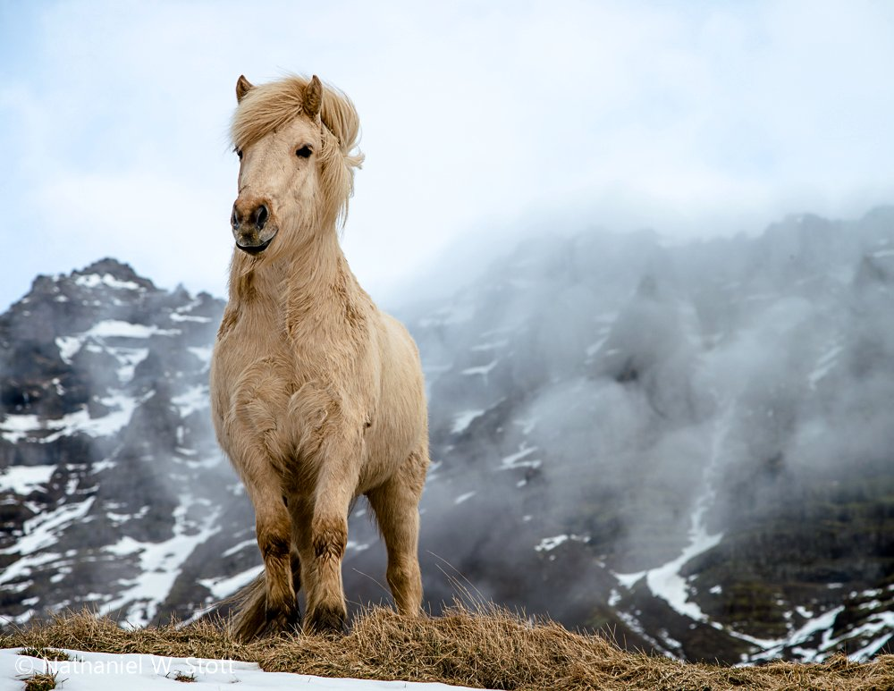 Icelandic Horses: A Breed of Its Own